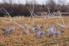 Crane Feeding