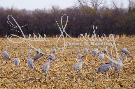 Crane Foraging