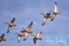 Flock of Teal