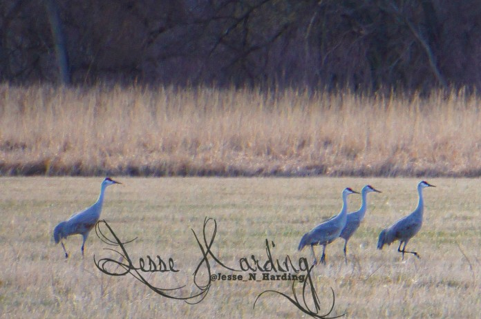 Sandhill Crane Walks