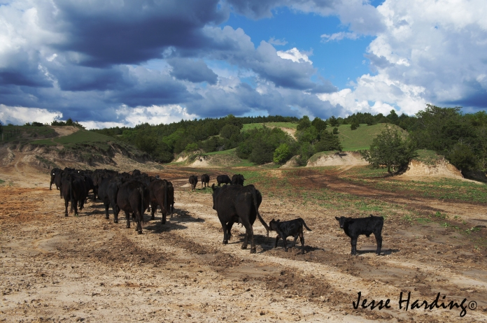 Following the Leader - Cattle